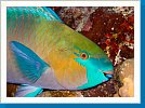 Rusty parrotfish and cleaning shrimp
